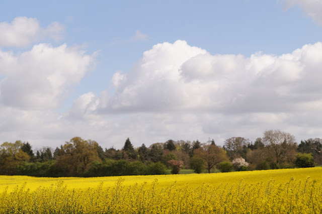 oil seed rape yellow fields in Norfolk