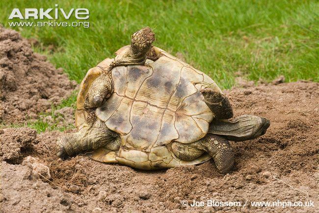 tortoises tortoise...