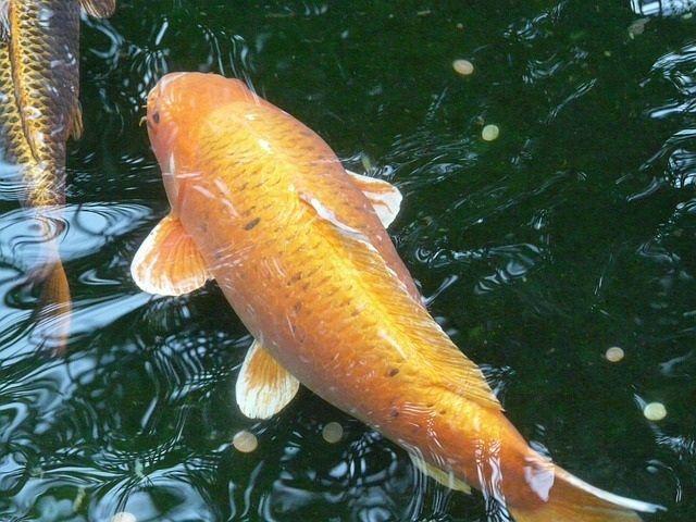 Umpan Ikan Mas yang Paling Jitu