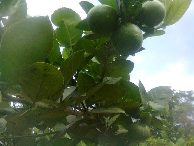 Tanaman Jeruk Berbuah Lebat Karena Berasal Dari Bunga Yang Produktif