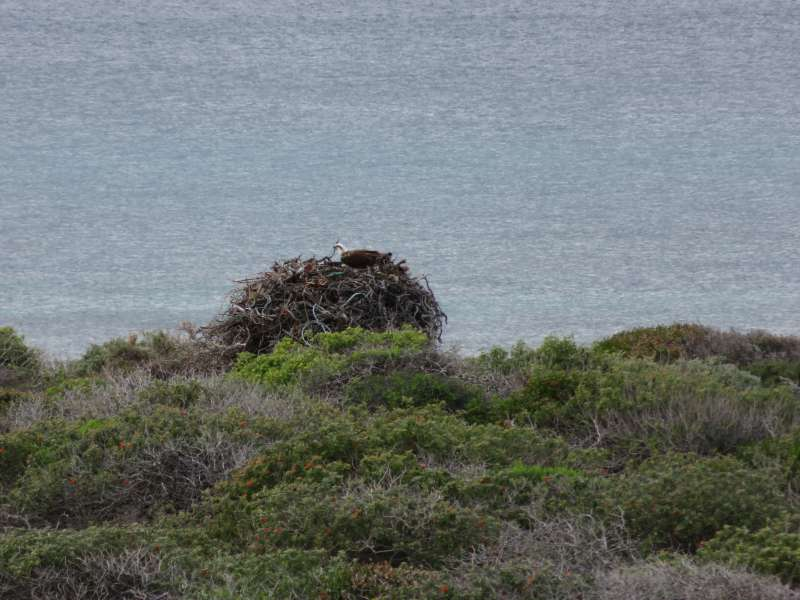Osprey nest on East Wallabi Island
