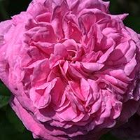 Rosa da identificare (Rosa gallica)