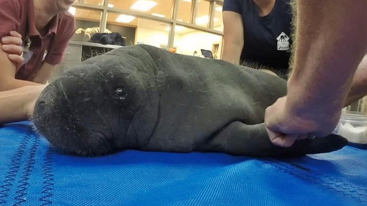 """Os veterinários do zoológico tinham batizado o filhote de """"Emoji"""". Após de ter sido separado de sua mãe, o jovem peixe-boi ingeriu sacolas plásticas em busca de algas marinhas no fundo do mar."""