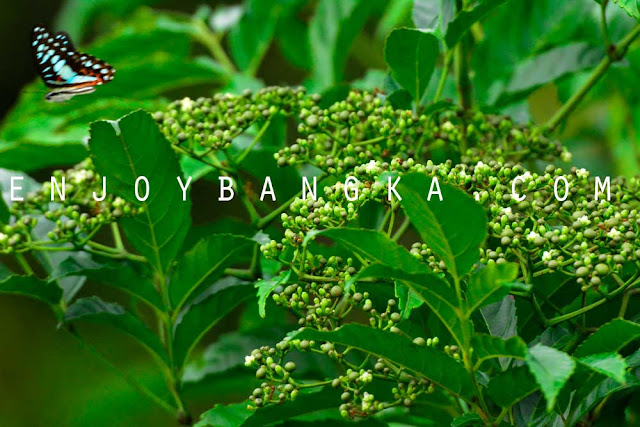 buah unik bangka belitung