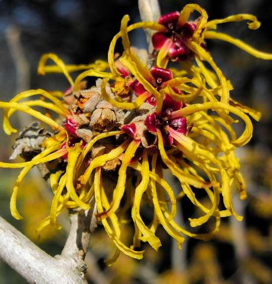 Hamamélis, noisetier de la sorcière : bienfaits de la plante
