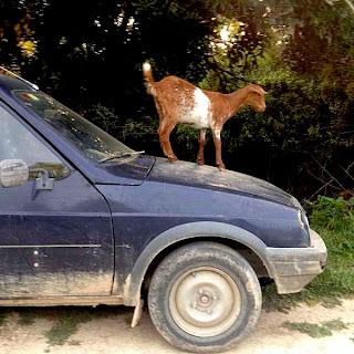 """Unas cabras jóvenes aprovechan un  descuido de José para montarse en el  techo de su automóvil. Les gusta sonido  del techo metálico crujiendo y lo pisotean  """"locas"""" de contento. Mientras José las  espanta, y con razón, yo pienso en lo  estupendo que sería poder montarme a  pisotear el techo también."""