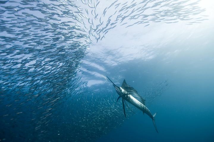 köpekbalığı resimleri