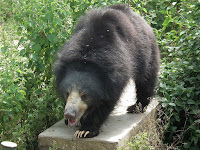 Sloth Bear pictures