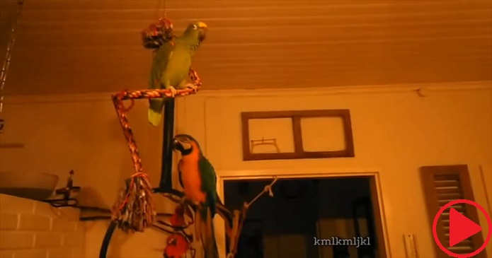 Two kinds of parrots