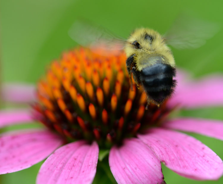 Bumble bees are so big, round and fat it seems improbable they could fly, but they do!  Here this Bombus impatiens hovers over a purple coneflower.