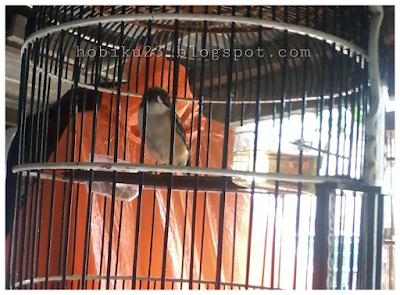 Cara Mengatasi Burung Cendet Macet