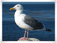 Gull Animal Pictures
