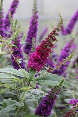 'Miss Molly' and 'Miss Violet' Buddleia