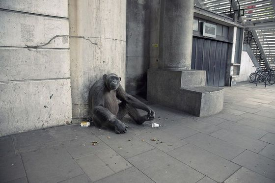 Funny Chimpanzee begging on streets image