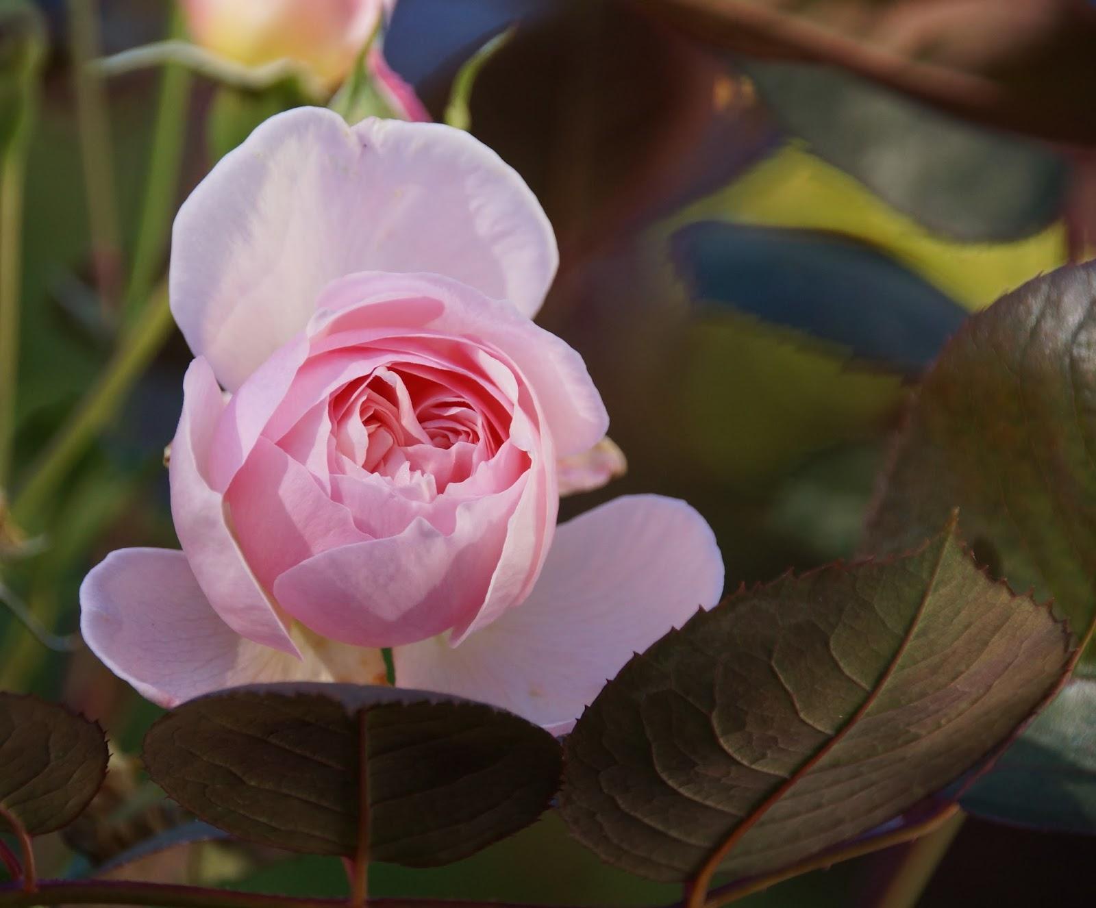 Villroses hage: Rosa roser i oktobersol