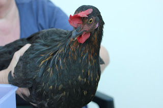 Treating a chicken for bumblefoot with a cabbage poultice