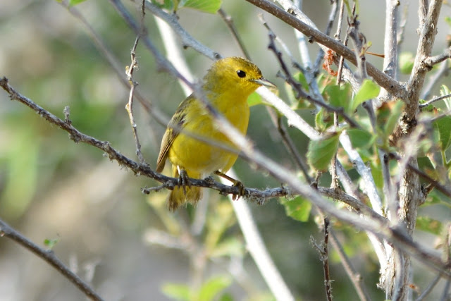 Floreana yellow finch