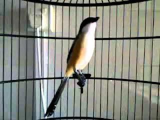 Burung Cendet - Kualifikasi Ilmiah Burung Cendet dan Prilakunya di Alam Liar - Penangkaran Burung Cendet