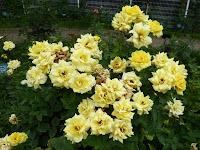 花博記念公園鶴見緑地 バラ園 7月のバラ