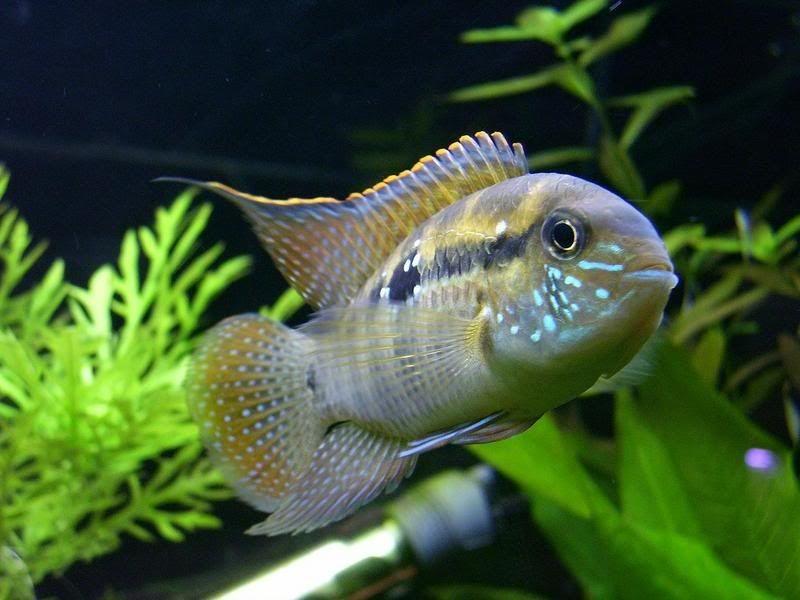Gambar Ikan Akara