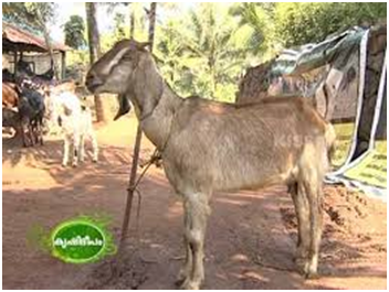 Unique Suppliers of Goats in Pakistan