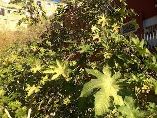 Ricinus communis, Higuerilla