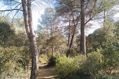 Pinar als peus del Pont del Diable