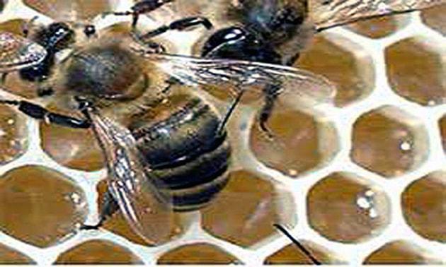 Própolis (antibiótico natural)