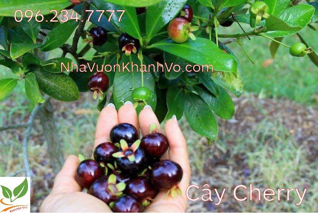 Update cho vườn với cây cherry.