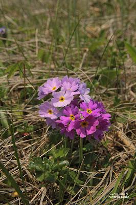 ユキワリコザクラ ≪Primrose genus≫