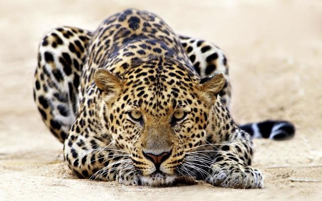 الفهد-اخطر-حيوان-في-العالم