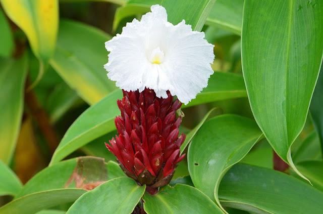 Hoa cây Mía Dò - Costus speciosus - Nguyên liệu làm thuốc Chữa bệnh Mắt Tai Răng Họng