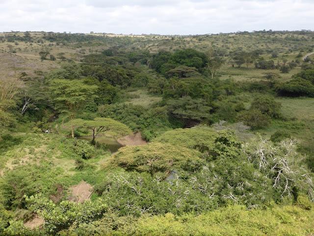 Nairobi National Park, acacias