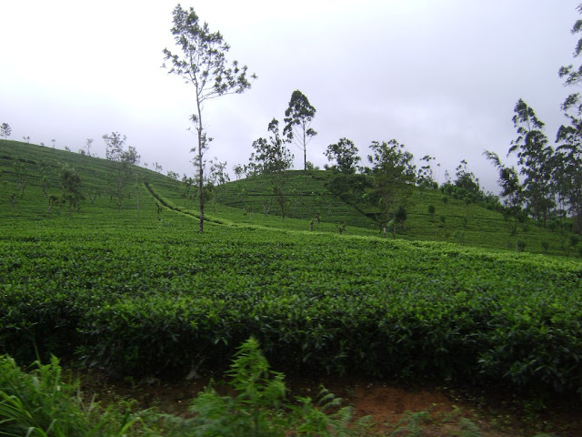 Kotagala tea plantation