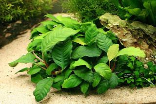 Tanaman anubias jenis coffefolia