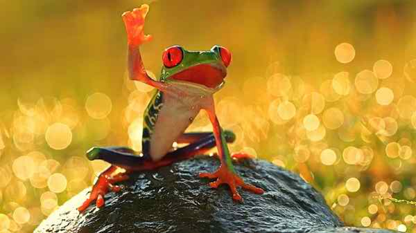 Beautiful Frog Wallpaper Download For Free Goats Animal: Beautiful Frog Wallpaper Download For Free