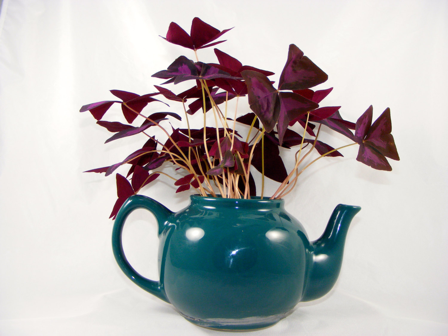 Oxalis triangular ! Home Decor