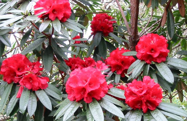 Seed To Feed Me What Is The Difference Between A Rhododendron And An Azalea