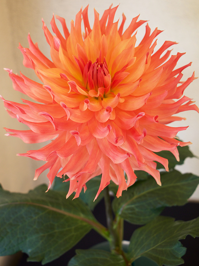 AC Ben is a strong grower in our area an AA or Giant (dinner plate) we are growing a few in our garden but they should be in bloom in a few ... & Growing with plants: An Extraordinary Dahlia Show Kicks off a New ...
