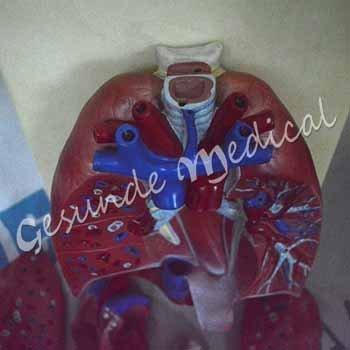 grosir torso organ tubuh hati