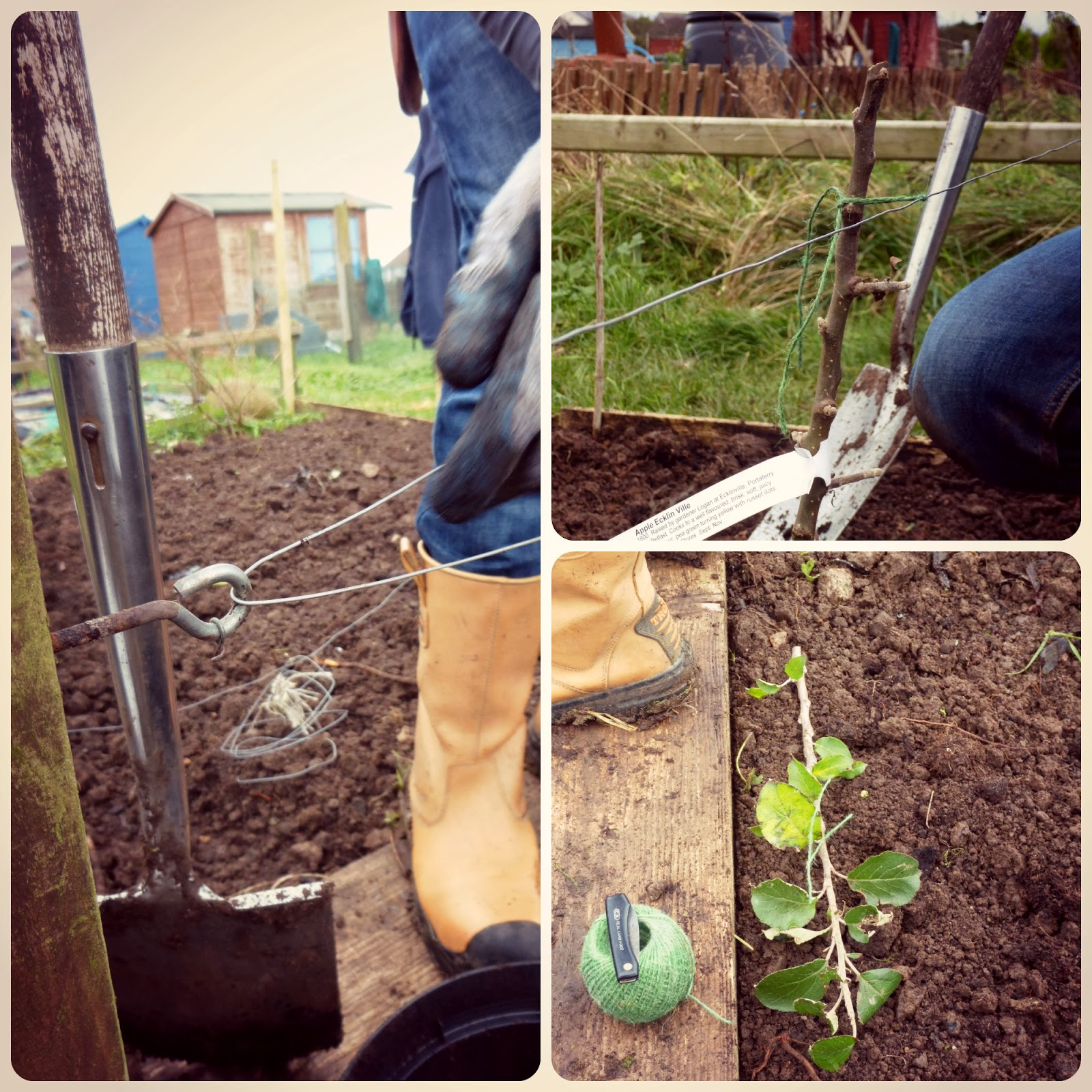 planting an apple tree (pt2)  - 'Grow Our Own' Allotment blog