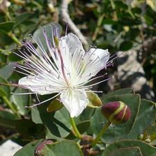 https://geheimtippreisen.blogspot.ch/2016/08/essbare-pflanzen-auf-den-maltesischen.html