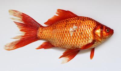 Masih Belum Percaya Manfaat Ikan