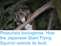 https://sciencythoughts.blogspot.com/2017/08/petaurista-leucogenys-how-japanese.html