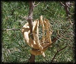 Algarrobo chileno Prosopis chilensis
