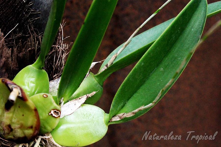 Detalle de los pseudobulbos de la Flor de Colmena, Laelia rubescens