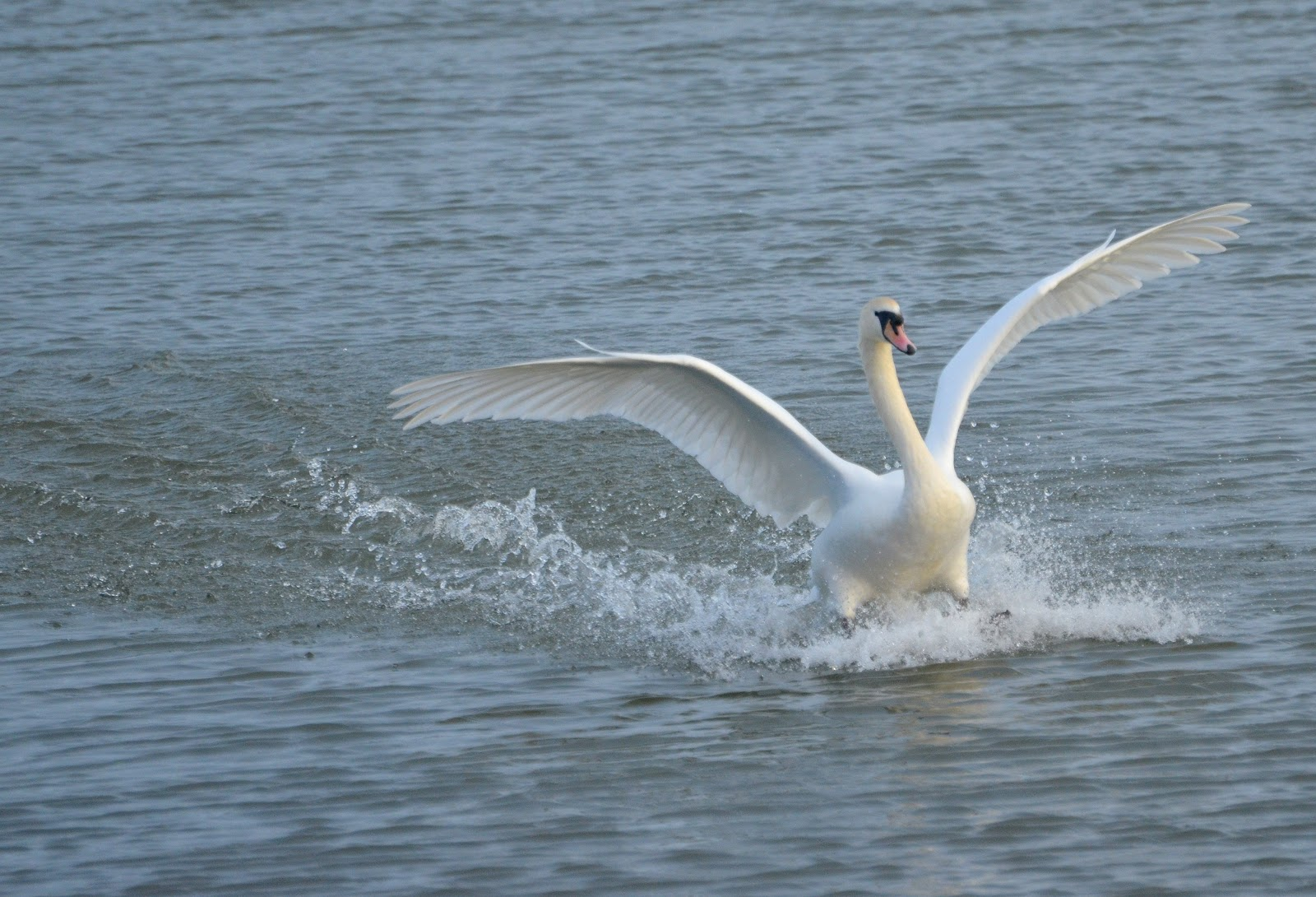 The Early Birder: There once was an angry Mute Swan