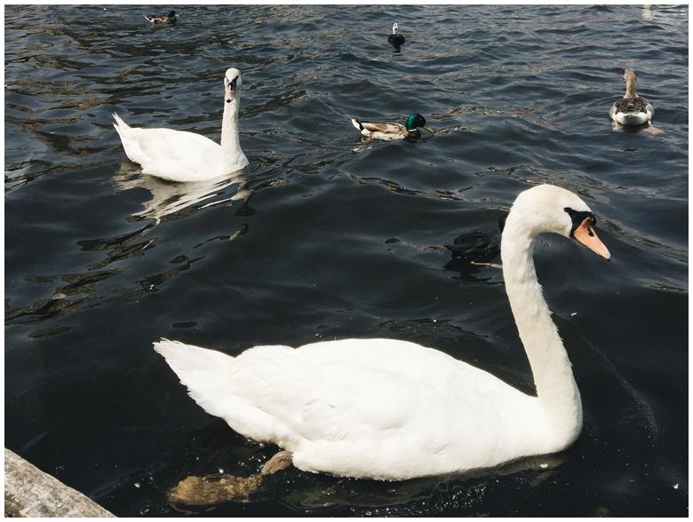 Hamburg Alster Swans