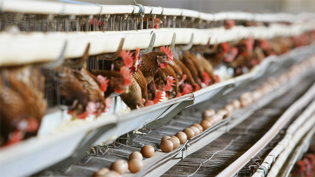 peternakan ayam dijepang