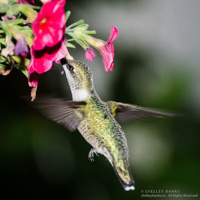 Ruby-throated Hummingbird, Regina, SK. © Shelley Banks, all rights reserved. (ShelleyBanks.ca)